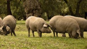 Cerdos ibéricos pastando en la dehesa