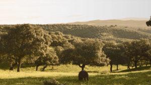Imagen de un encinar del Valle de los Pedroches